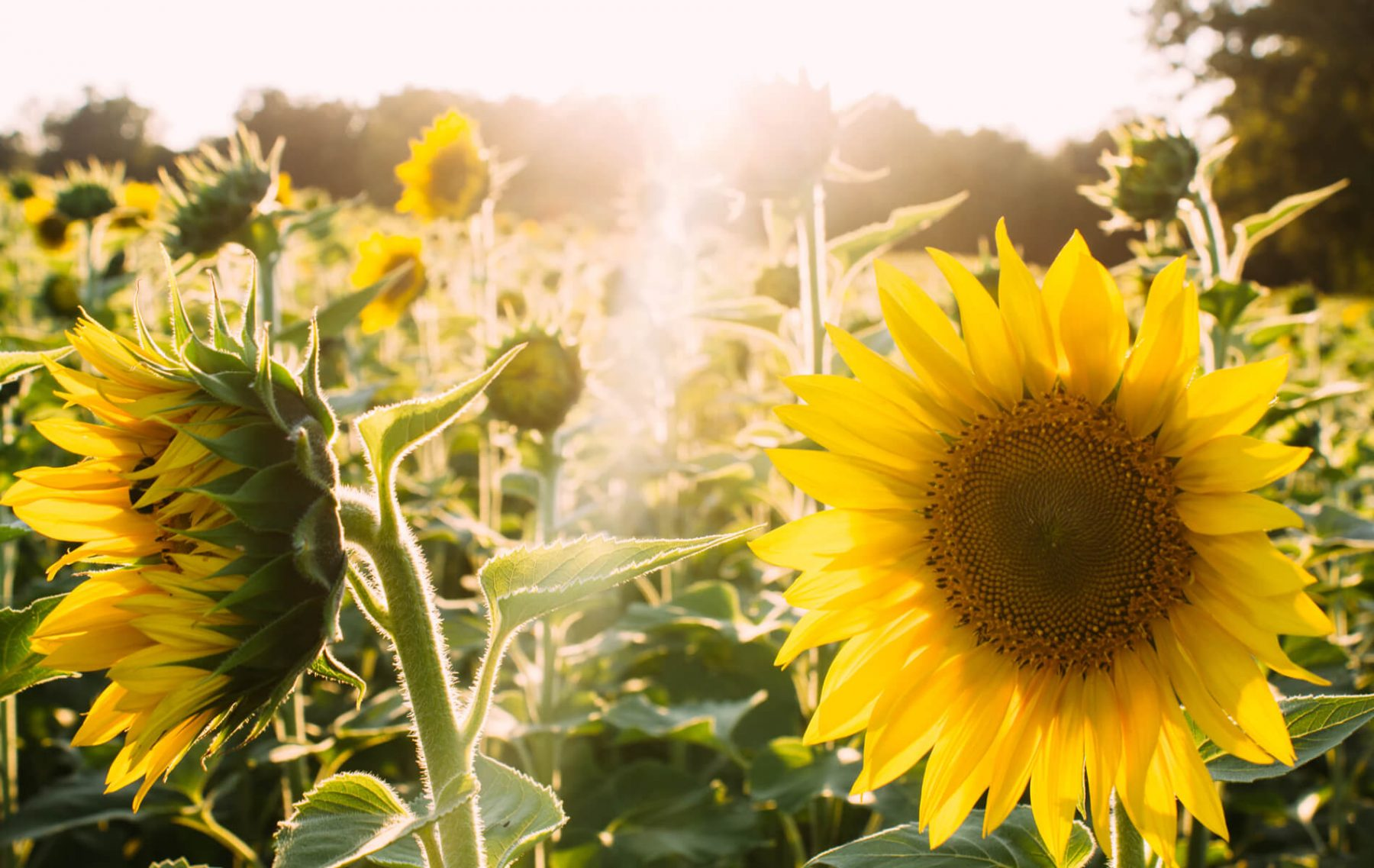 Patch of sunflowers