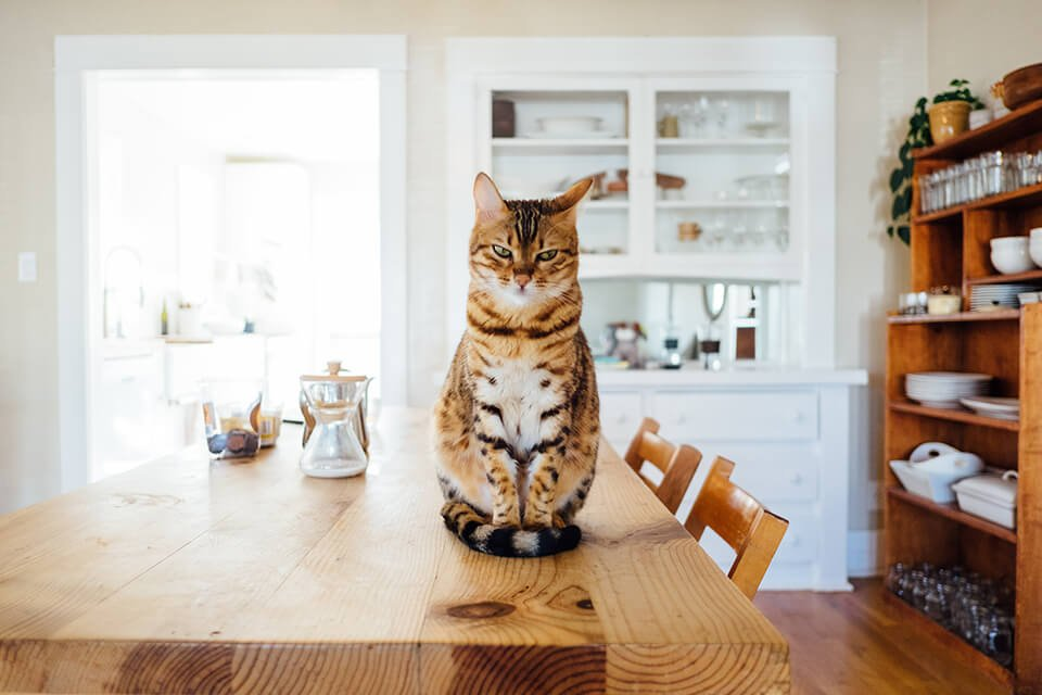 Cat sitting on top of dining table
